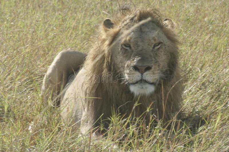 Mannelijk Lion Panthera Leo Simba in Swahili Taal stock fotografie