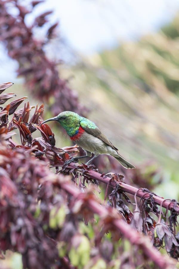 Mannelijk minste of Zuidelijk dubbel-Collared Sunbird, Cinnyris-chalybeus, die op Melianthus-majoor of Honey Bush voeden royalty-vrije stock foto