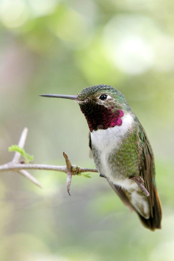 Mannelijk neergestreken Rufus Hummingbird stock foto