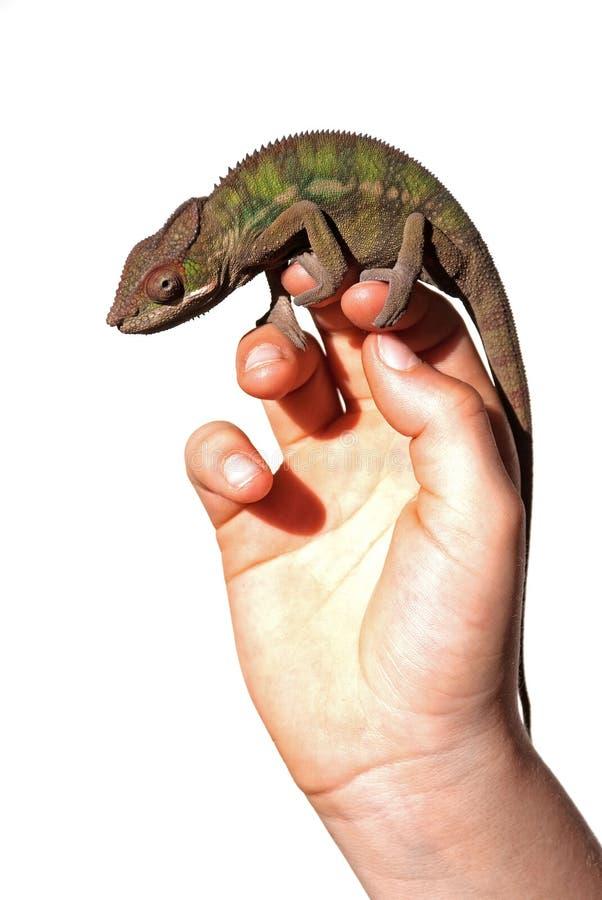 Mannelijk panterkameleon stock fotografie
