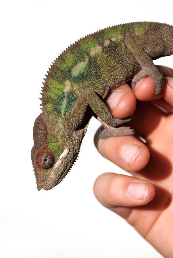 Mannelijk panterkameleon stock foto's