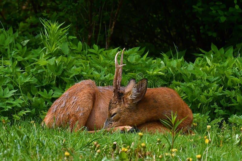Mannelijk Roe Deer, Capreolus-capreolusslaap en rust een vroege ochtend stock foto