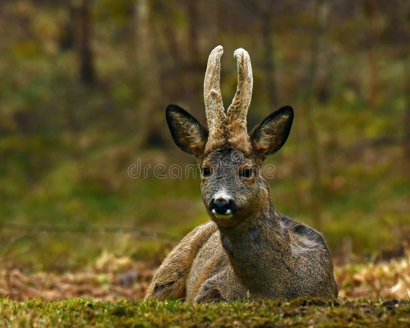 Mannelijk Roe Deer, Capreolus-capreolus ligt in rust een vroege ochtend stock foto's
