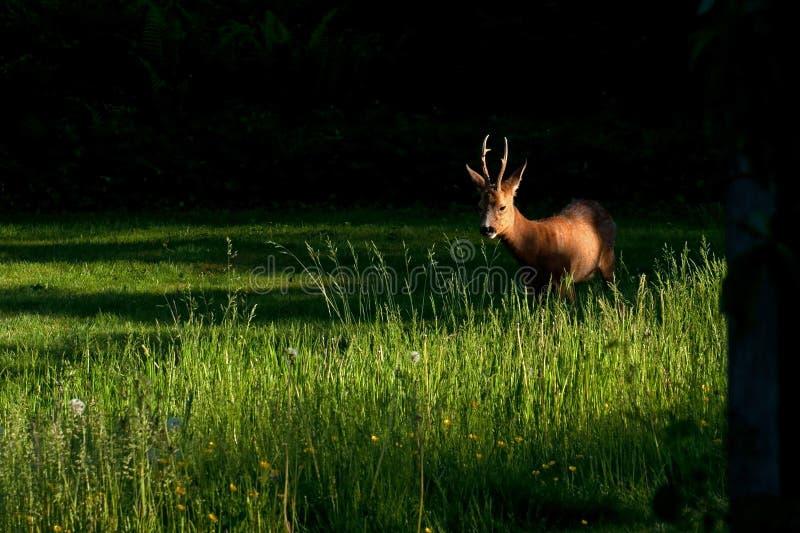 Mannelijk Roe Deer die zich op een gebied bevinden royalty-vrije stock afbeeldingen