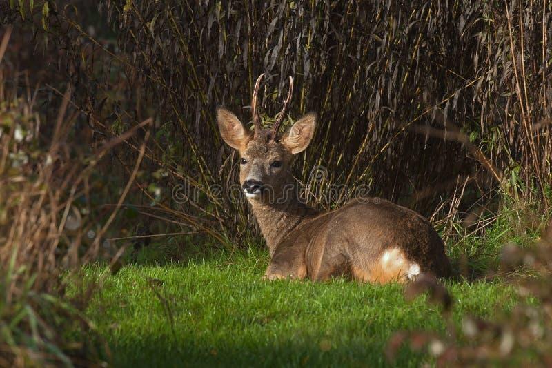 Mannelijk Roe Deer ligt in rust een vroege ochtend stock foto
