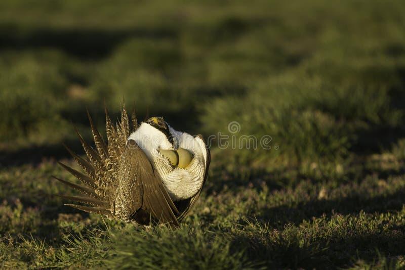 Mannelijk Sage Grouse blaast het is luchtzakken terwijl het strutting op lek in het gouden ochtendlicht op stock foto