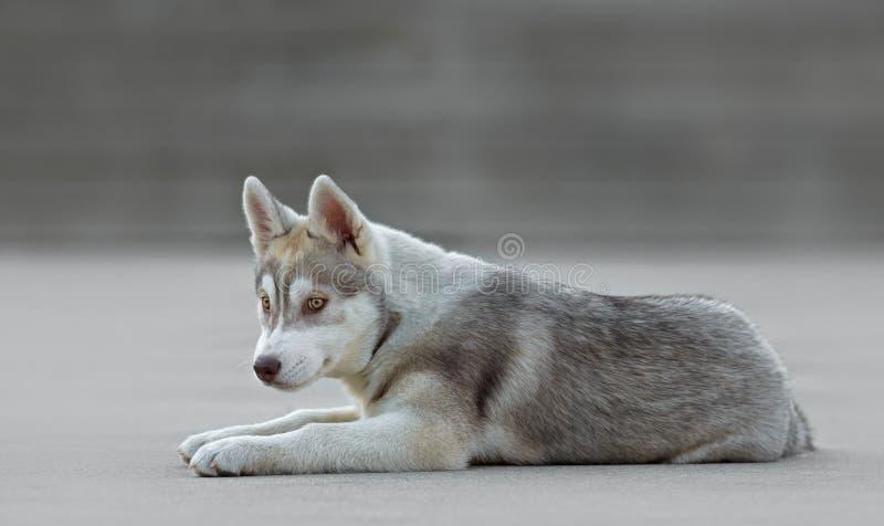 Mannelijk schor puppy stock foto