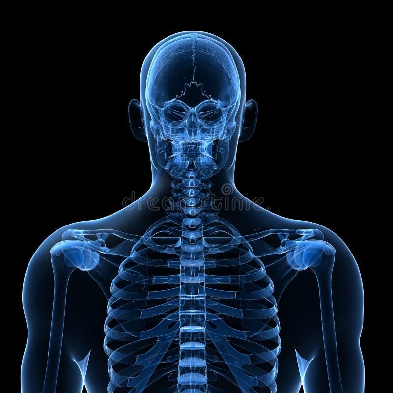 Mannelijk skelet stock illustratie