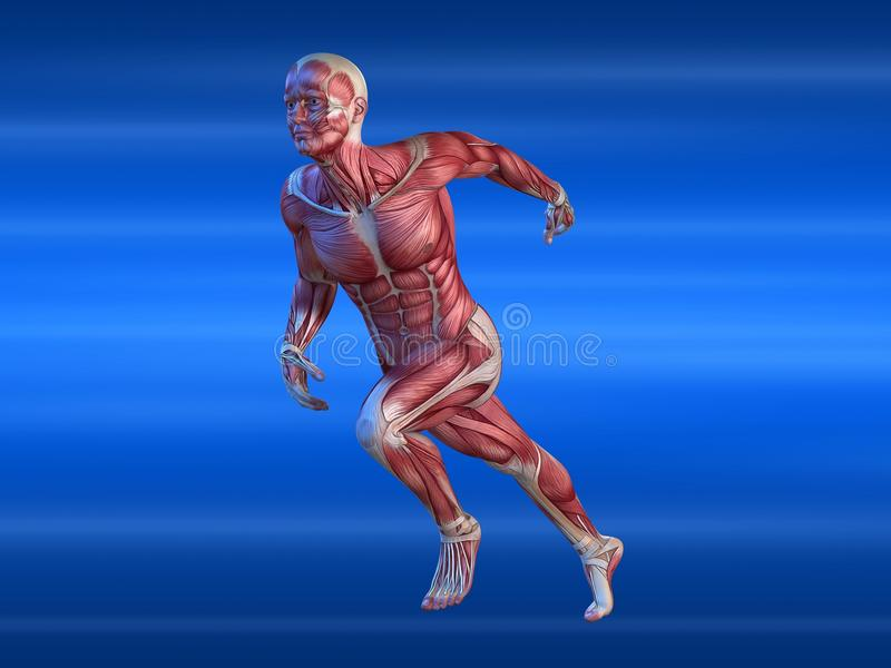 Mannelijk spiermodel vector illustratie