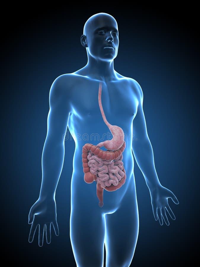 Mannelijk spijsverteringssysteem vector illustratie