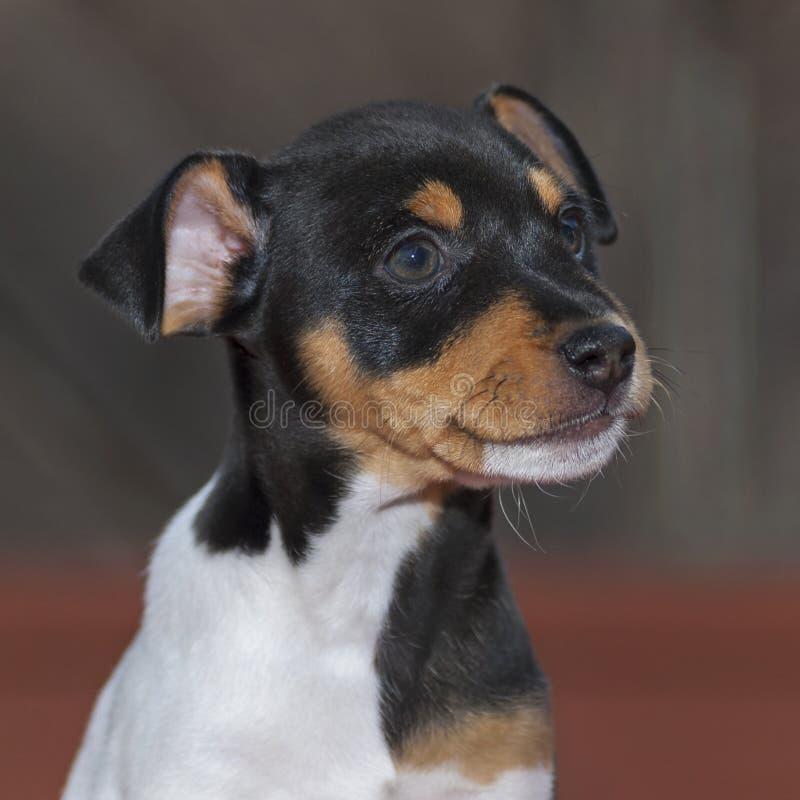 Mannelijk Toy Fox Terrier Puppy Portrait met Dwaze Grijns royalty-vrije stock afbeeldingen