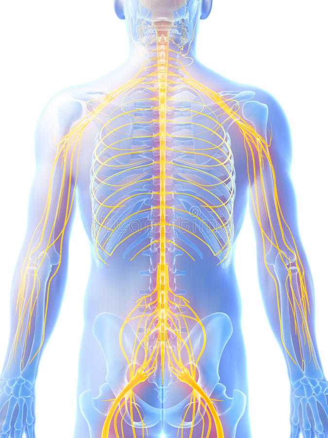 Mannelijk zenuwsysteem royalty-vrije illustratie