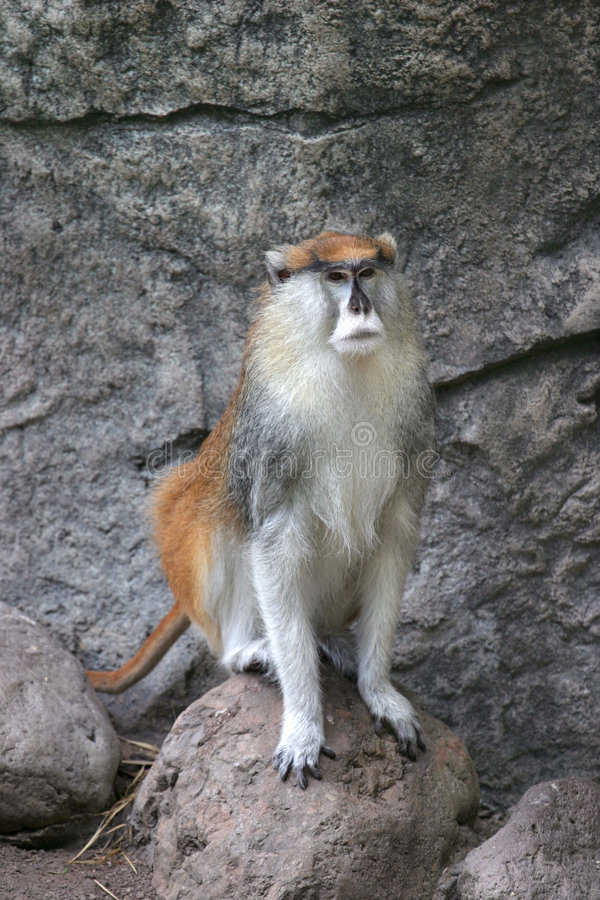 Mannelijke aap Patas stock afbeelding