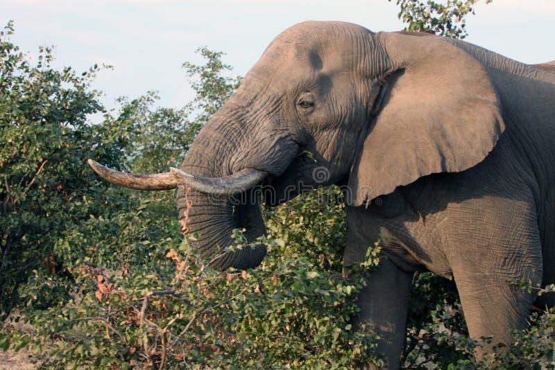 Mannelijke Afrikaanse olifant met slagtandenvoer op de struik botswana royalty-vrije stock foto's