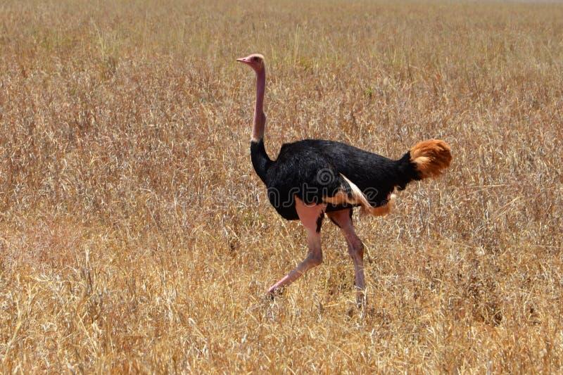 Mannelijke Afrikaanse struisvogels in zijn natuurlijke habitat in Tanzania stock fotografie