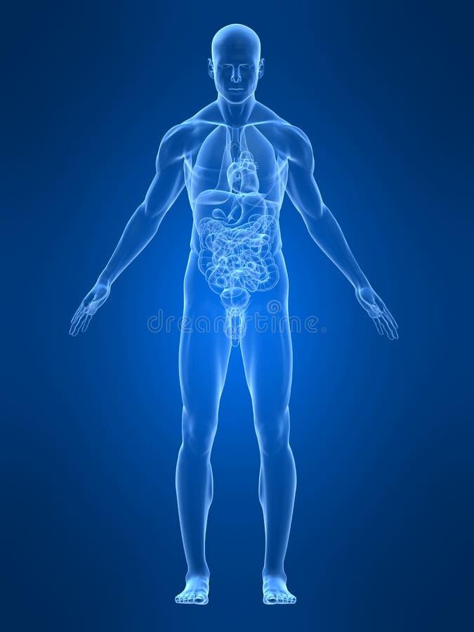 Mannelijke anatomie royalty-vrije illustratie