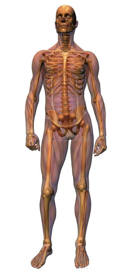 Mannelijke Anatomie - het verstand van het Spierstelsel royalty-vrije illustratie