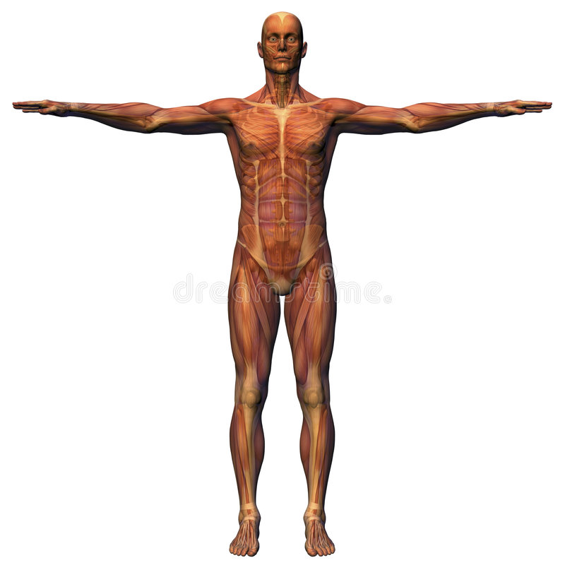 Mannelijke Anatomie - Spierstelsel   stock illustratie