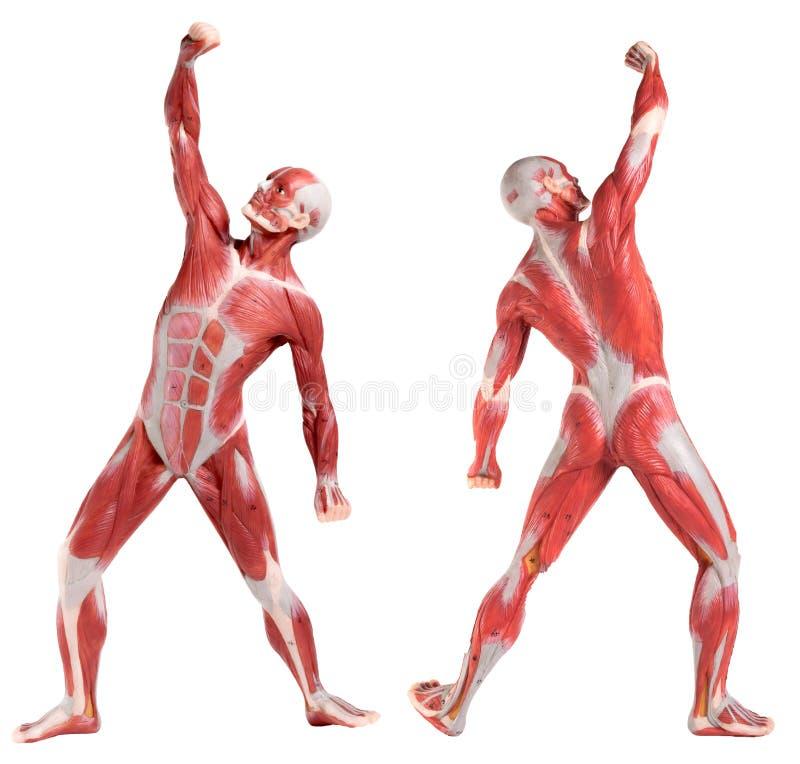 Mannelijke anatomie van spiersysteem (voor en achtermening) royalty-vrije stock afbeelding