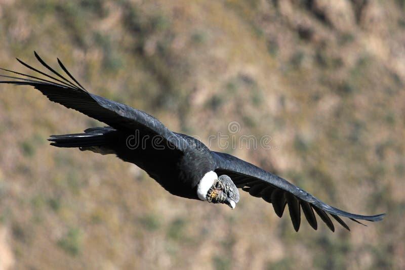 Mannelijke Andescondor die dicht vliegen royalty-vrije stock afbeeldingen