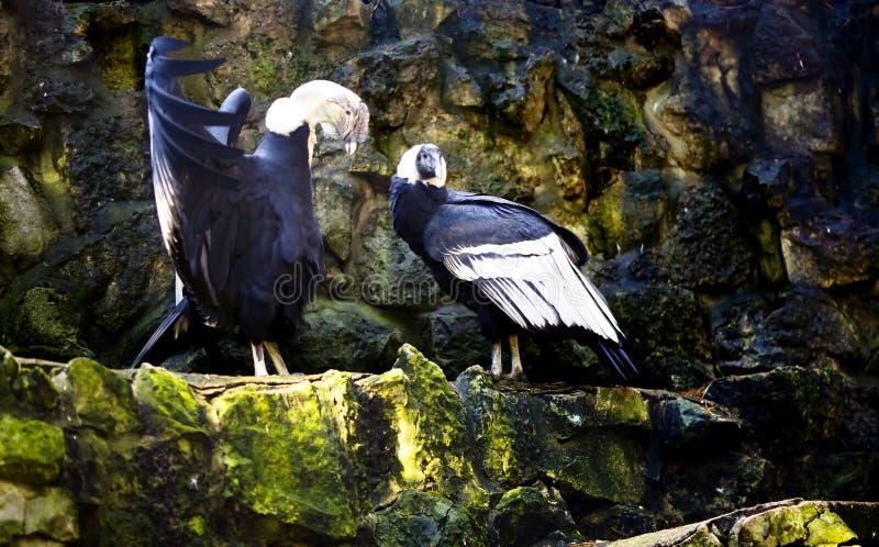 Mannelijke Andescondor met de open vleugels vóór een vogelwijfje royalty-vrije stock afbeelding