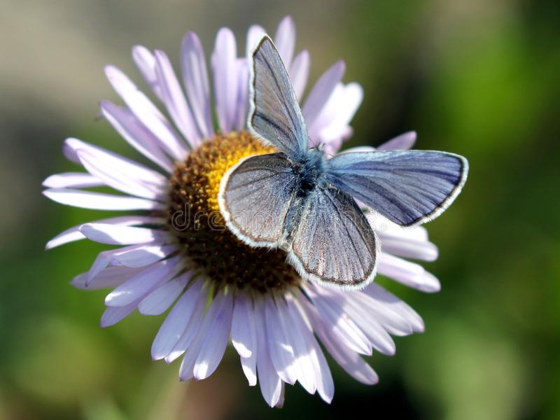 Mannelijke Anna ` s Blauwe Vlinder stock foto's