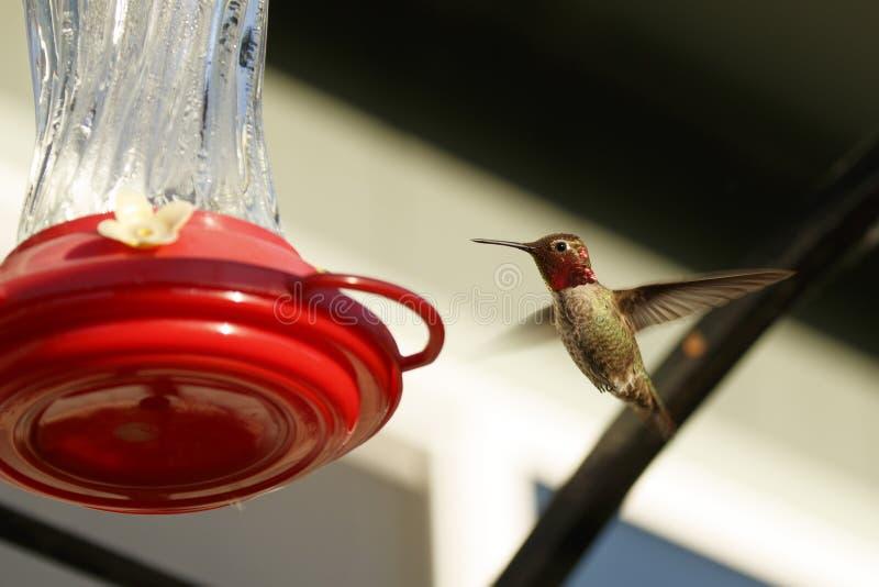 Mannelijke Anna ` s Kolibrie bij een Voeder royalty-vrije stock afbeelding