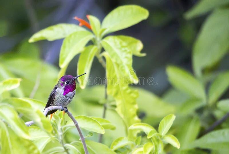 Mannelijke Anna ` s kolibrie Calypte anna royalty-vrije stock fotografie