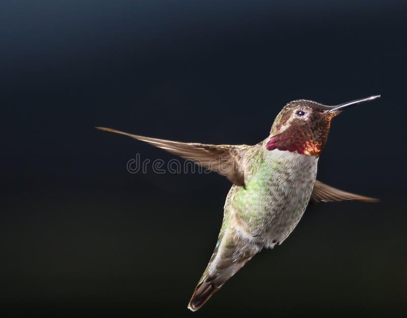 Mannelijke Anna ` s kolibrie die in de lucht hangen stock fotografie