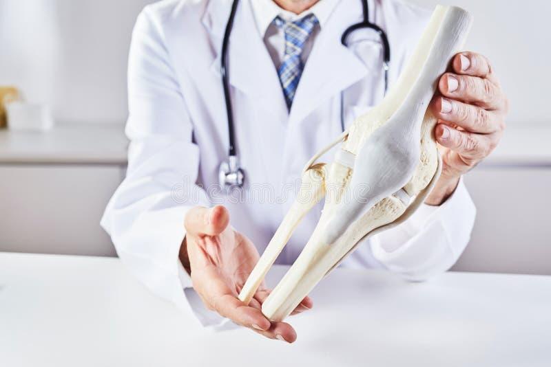 Mannelijke arts die modelanatomie van kniebeen houden royalty-vrije stock afbeelding