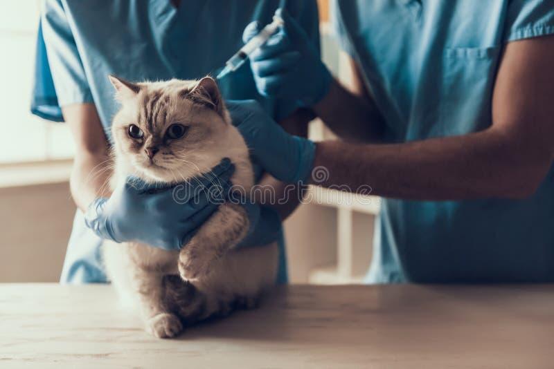 Mannelijke Arts Veterinair Examining Cute Grey Cat royalty-vrije stock foto's