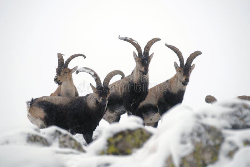 Mannelijke berg Gredos in de winter stock afbeelding