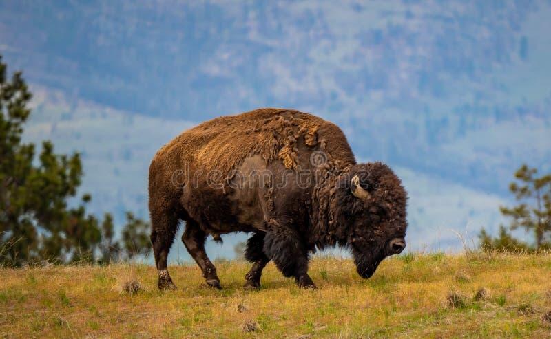 Mannelijke Bizon in Nationaal Bison Range stock afbeelding