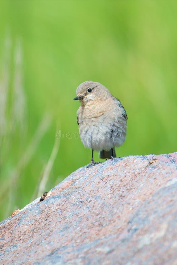 Mannelijke blauwe vogel op rots stock foto's