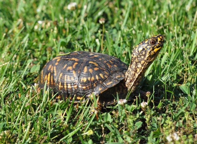 Mannelijke Bosdoosschildpad stock afbeelding