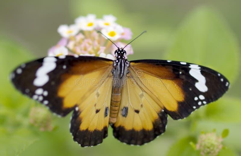 Mannelijke chrysippus van Danaus van de vlinder Duidelijke Tijger royalty-vrije stock afbeelding
