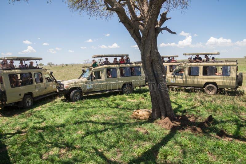 Mannelijke die leeuw door safaritoeristen wordt omringd