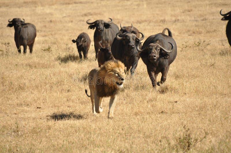 Mannelijke die leeuw door waterbuffels wordt achtervolgd stock afbeeldingen