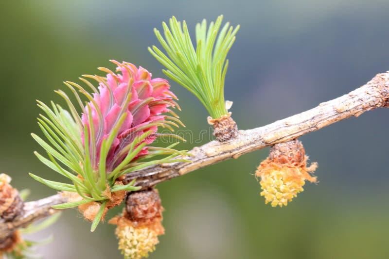 Mannelijke en vrouwelijke bloeiwijze van lariks (larix decidua) royalty-vrije stock foto