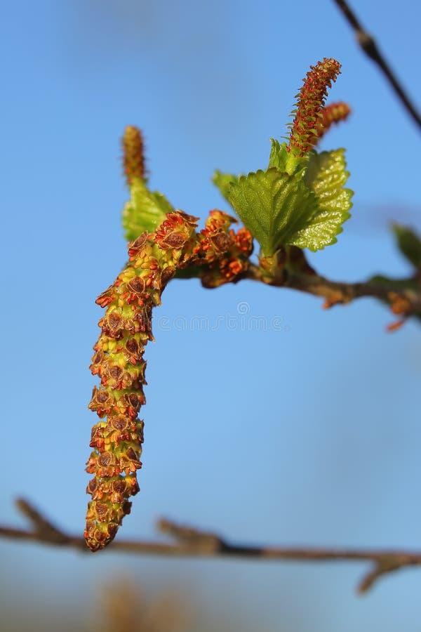 Mannelijke en vrouwelijke bloesems van Witte berk pubescens, de donsachtige berk royalty-vrije stock afbeeldingen