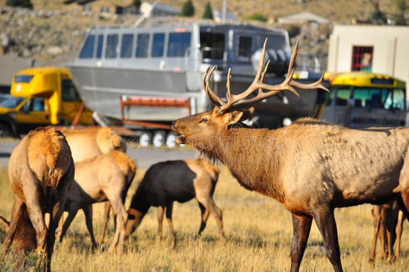 Mannelijke en Vrouwelijke Elanden bij het Nationale Park van Yellowstone stock afbeelding