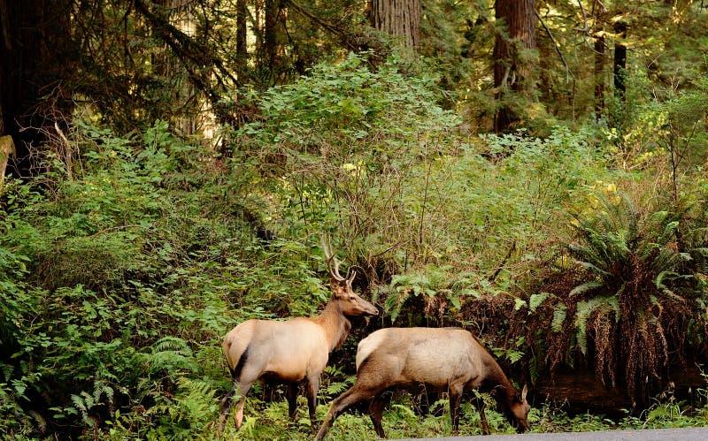 Mannelijke en Vrouwelijke Elanden in Bos stock fotografie