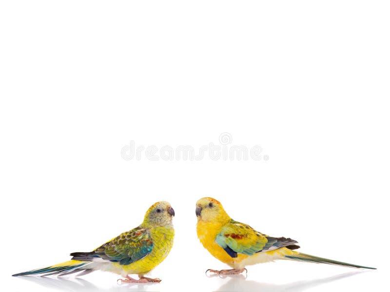 Mannelijke en vrouwelijke geïsoleerde psephotus van papegaaihaematonotus royalty-vrije stock fotografie