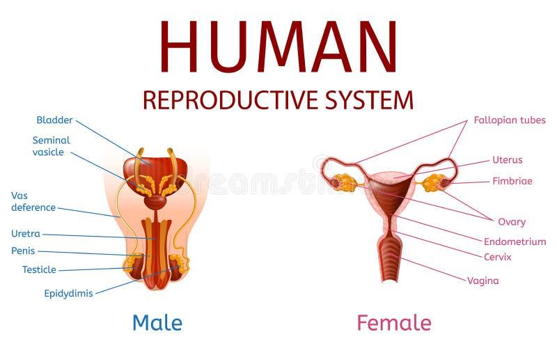 Mannelijke en Vrouwelijke Genitaliën met Geëtiketteerde Componenten stock illustratie