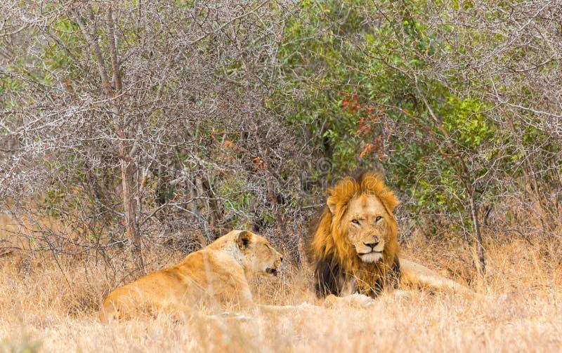 Mannelijke en Vrouwelijke Leeuw royalty-vrije stock fotografie