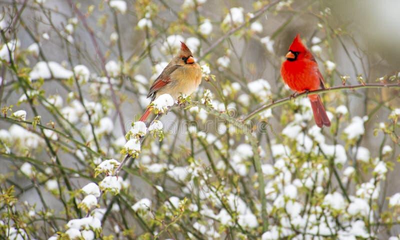 Mannetje en wijfje redbird dat met sneeuw wordt omringd. stock afbeeldingen