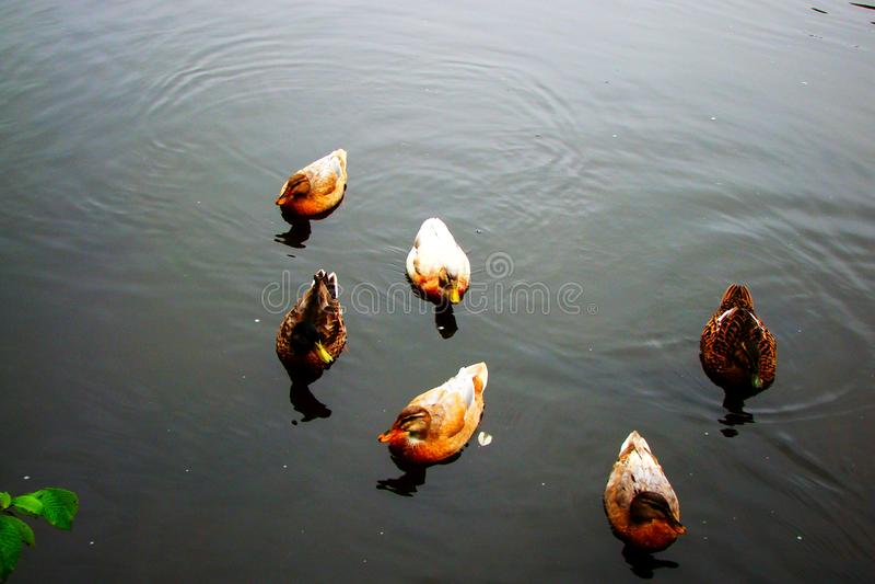 Mannelijke en vrouwelijke wilde eendeend die op een vijver zwemmen royalty-vrije stock foto