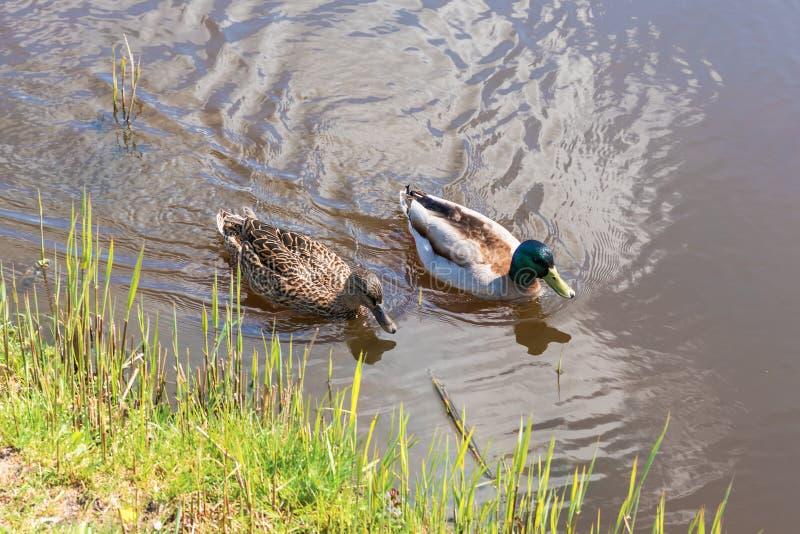 Mannelijke en vrouwelijke wilde eendeend die op een vijver zwemt terwijl het zoeken van voedsel royalty-vrije stock afbeeldingen