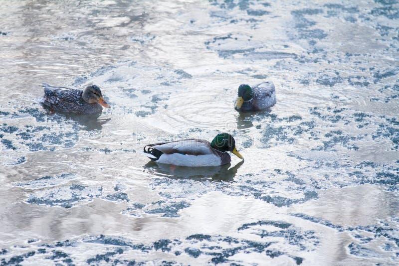 Mannelijke en vrouwelijke wilde eendeenden die in de rivier op een ijzige de winterochtend zwemmen stock foto's