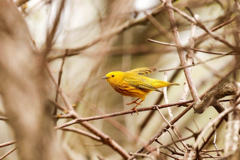Mannelijke Gele die Grasmus op een tak wordt neergestreken royalty-vrije stock foto's